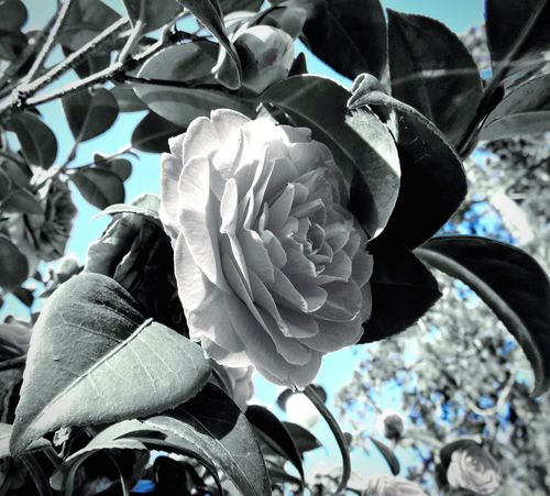 Is peace possible in this World...? Can a human being be as peaceful as a flower one day...? A flower dedicated to the victims of Brussels and to all the suffering souls in this world..... Hello World Peace Beauty Beauty In Nature Souls Dedication Flowers Flowers,Plants & Garden Flowers, Nature And Beauty Flowers_collection Splash Of Color Blackandwhite Black And White With A Splash Of Colour Blue Bleu Sky Blackandwhite Photography White Flower Nature Nature Photography Nature_collection EyeEm Nature Lover EyeEm Gallery Belgium Brussels Pray For Belgium