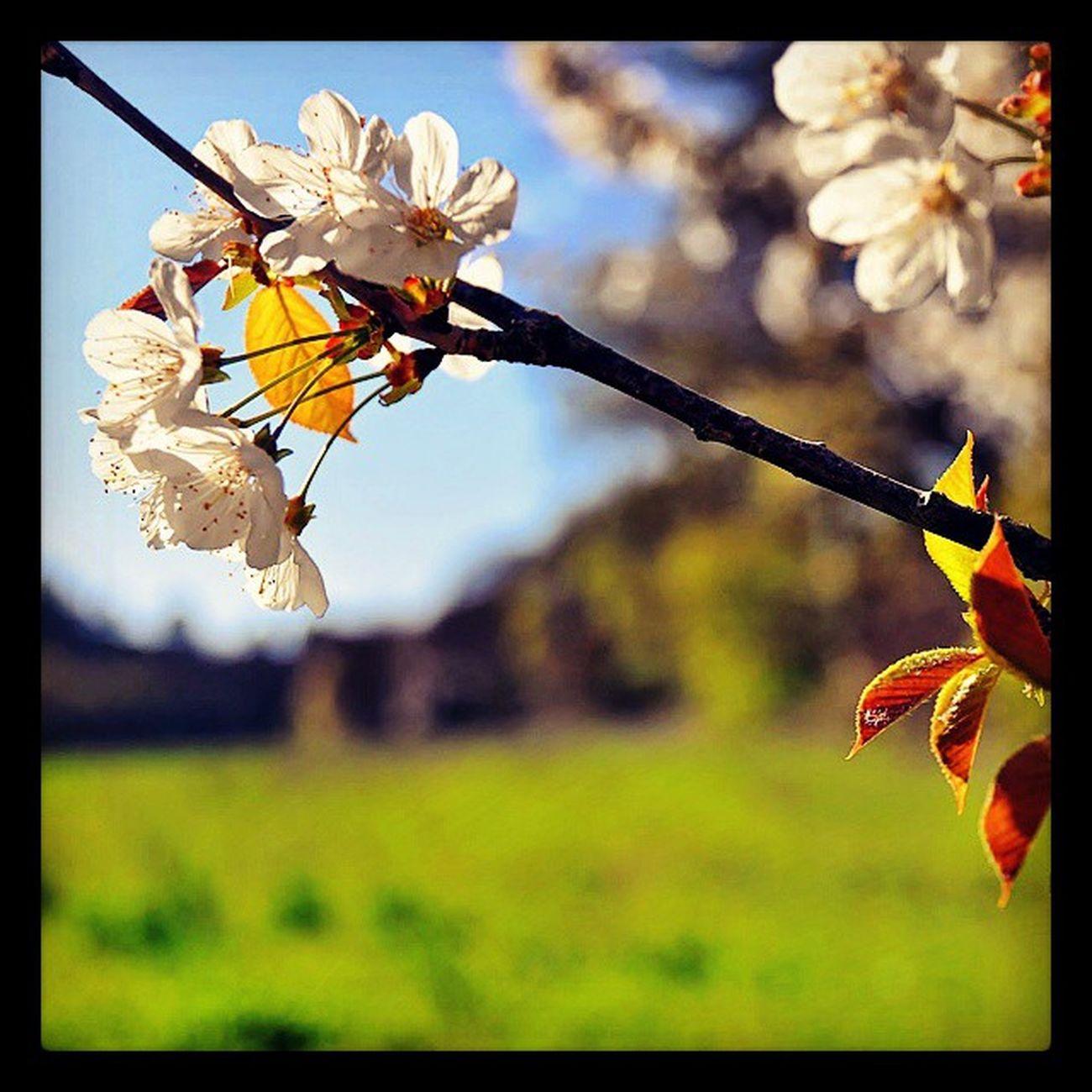 Floraison de printemps Nikonfr Igersfrance Igerspaca Saintevictoiremonamour Saintevictoire Igersmarseille Bouchesdurhone Moutain Spring Printemps Flowers Fleurs Colors Sun