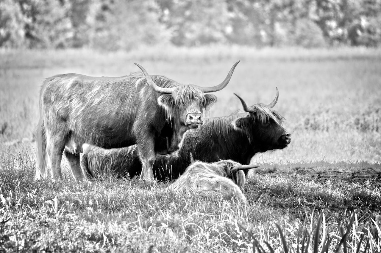 Highland cattle cows family on pasture Animal Themes B&w Black And White Cattle Countryside Cow Cows On Pasture Day Domestic Animals Field Grass Grazing Grazing Cattle Green HDR Highland Cattle Highland Cattle Cow Horned Landscape Livestock Looking At Camera Mammal No People Outdoors Water Buffalo