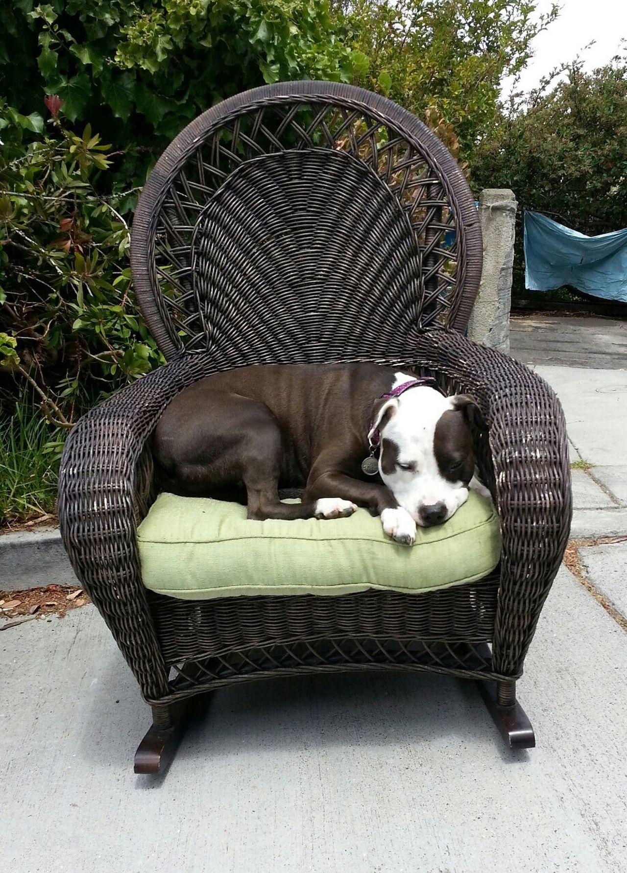 Spoon The Dog Pets Corner Chair Pitbull Staffy