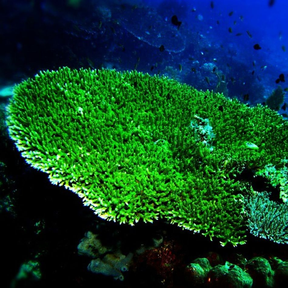 Diving Divetrip Liquiddive Tablecoral coral menjangan island sea indonesia instadonesia instanusantara instagram instacool traveling underwater photography doubletap followme northbali bali