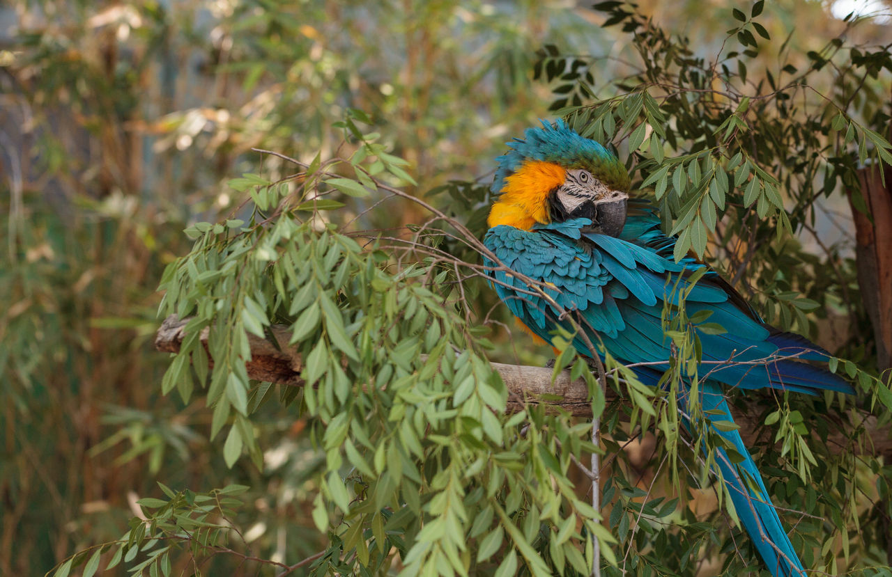 Blue and yellow Macaw parrot bird Ara ararauna perches in a tree with its bright feathers folded under. Animal Themes Animal Wildlife Animals In The Wild Ara Ararauna Beauty In Nature Bird Blue Blue Bird Day Macaw Macaw Parrot Maccaw Multi Colored Nature No People One Animal Outdoors Parot Parrot Perch Perching Rainbow Lorikeet Wildbird Yellow
