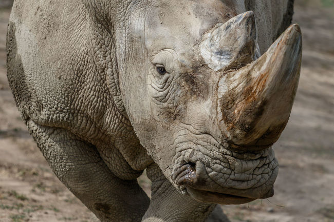 Portrait of a rhinoceros Animal Animal Head  Animal Nose Animal Themes Close-up Hanging Out Heavy Mammal No People One Animal Outdoors Rhinoceros Tusk Zoology