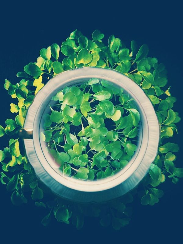 Collage Growing Plants Growth Vegetables Rucolla Porcelain Cup Tea Cup Green Color Green Plants Plants 🌱 Plant Life Leaf Vegetable Fresh Food Freshness Directly Above Nature Fragility Black Background Close-up Leaf Healthy Eating Visual Feast