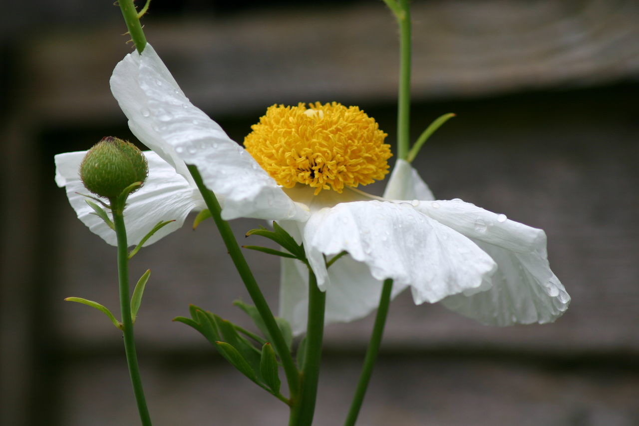Beauty In Nature Blossom Close-up Day Flower Flower Head Focus On Foreground Fragility Freshness Garden Photography Growth Nature No People Outdoors Petal Plant Poppy Flowers Summer Tree Poppy White Color Yellow