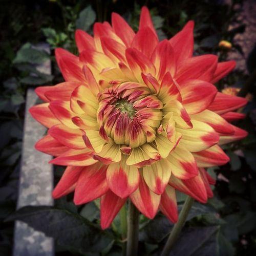 Dahlie Feuer Blume Rote spitzen Nature Photography Flowers,Plants & Garden Makro Photography Flower Photography Bildbearbeitung