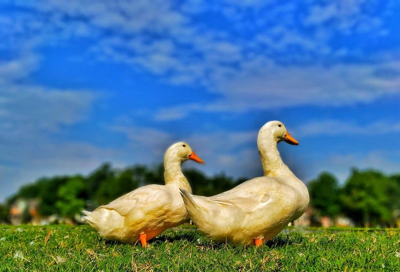 EyeEm Selects Bird Animal Wildlife Animals In The Wild Nature Grass No People Outdoors Day Beauty In Nature Swan Sky Close-up Animal Themes