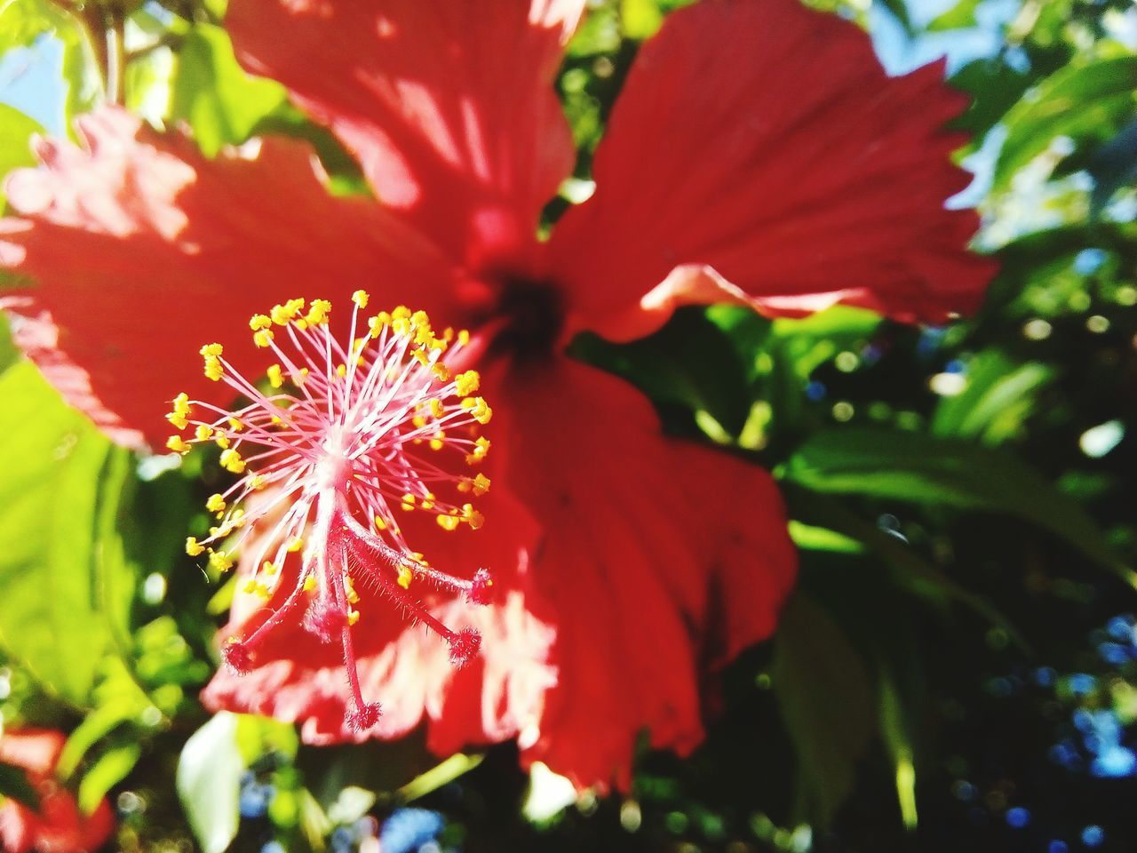 flower, red, growth, nature, petal, beauty in nature, fragility, flower head, plant, freshness, no people, outdoors, close-up, blooming, day, hibiscus