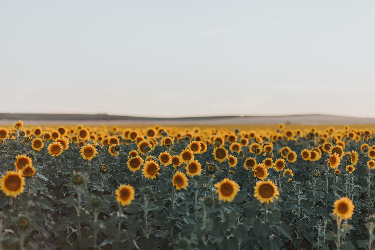 Agricultural Land Agriculture Alentejo Beauty In Nature Close-up Day Field Flower Flower Head Fragility Freshness Growth Landscape Nature No People Outdoors Plant Sky Sunflower Sunflowers Sunflowers🌻 Sunflower🌻