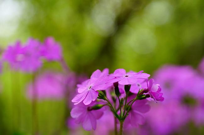 primrose / サクラソウ Primrose Flowers Naturelovers Bokeh Sony Fe 90mm F2.8 Macro G Oss SONY A7ii Sony α♡Love 今日もお疲れ様~