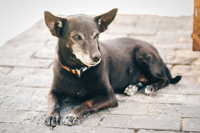 Sleepy Animal Themes Domestic Animals One Animal Pets Dog Black Color Mammal Zoology Close-up Animal Selective Focus Focus On Foreground Animal Head  Resting No People Sleepy Cute Cute Pets Cutenessoverload Puppy Black Dog Animals Domestic Dog Pet Dogs