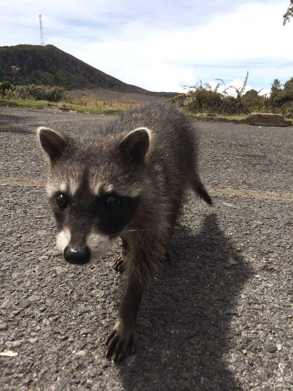 Beautiful stock photos of raccoon, Animal Head, Animal Themes, Close-Up, Cloud