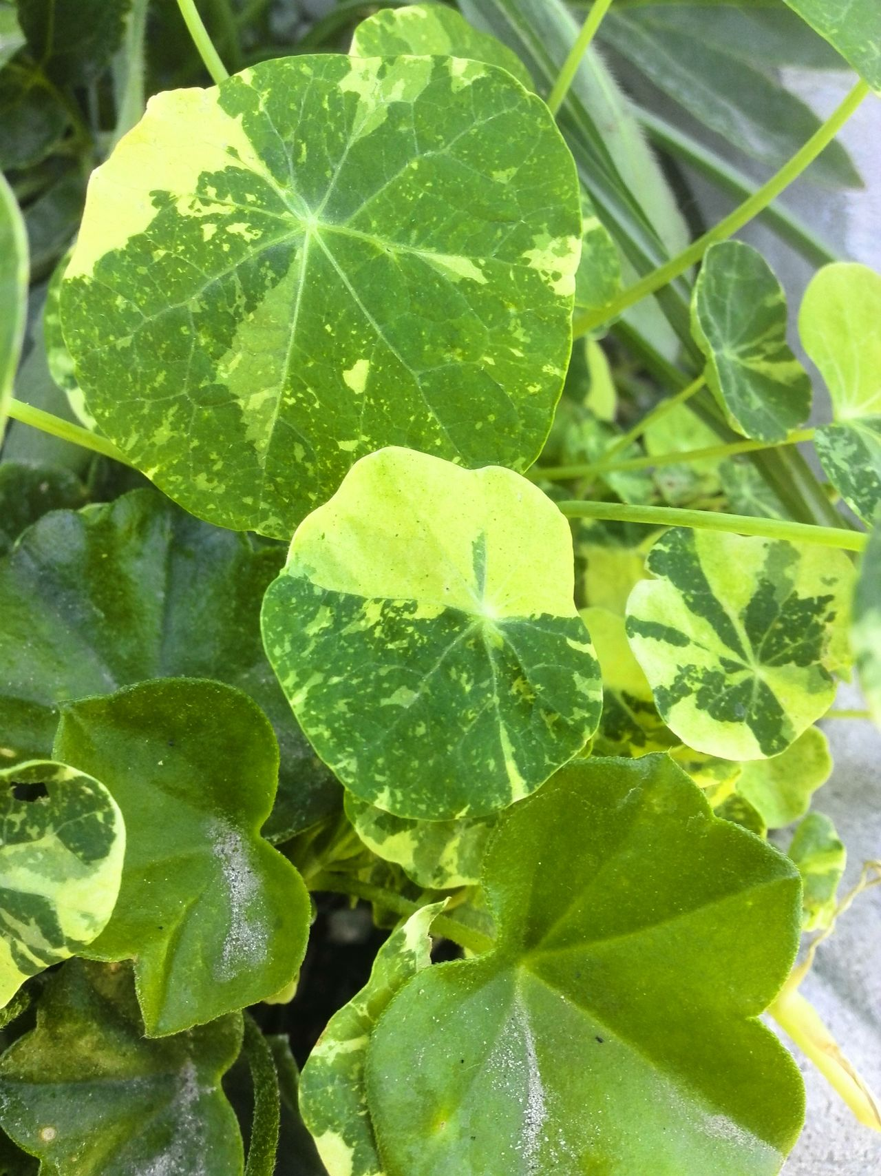 Botany Close Up Botany Attention To Detail Leaves Leaf Green Leaves Varigated Varigated Leaves Greenery Green Color Nasturtium Leaves Geranium Leaves Dustyleaf Container Gardening