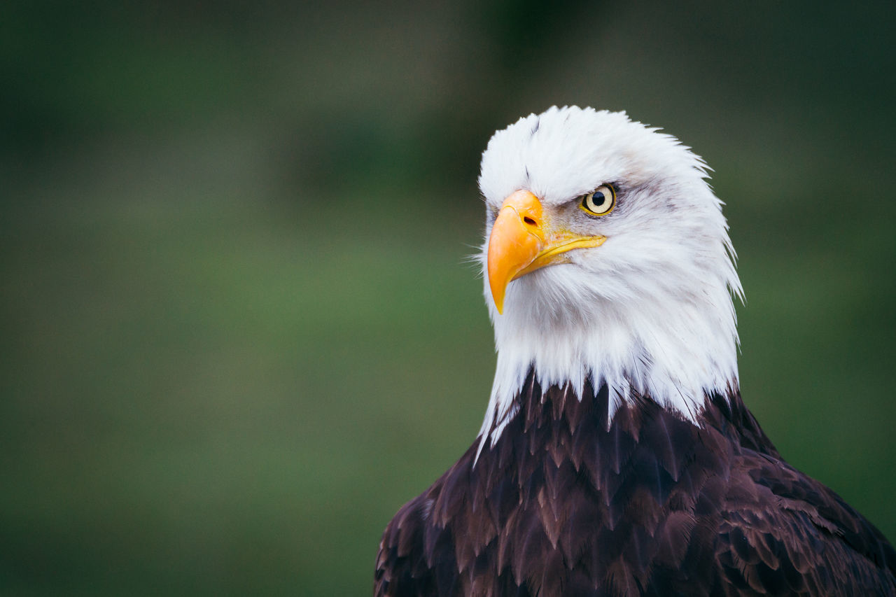 Beautiful stock photos of adler, Animal Themes, Animal Wildlife, Animals In The Wild, Bald Eagle