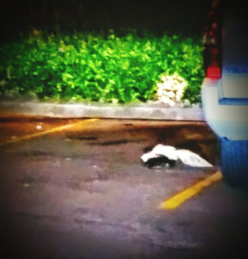 This skunk was wandering around the Wendy's on Hwy 64! Skunks Animal Wildlife Wildlife In The City Wild Animals In The City