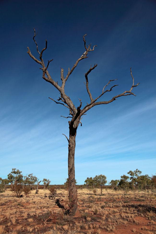 Dead tree in australian desert Australia Bare Tree Dead Tree Deadwood  Down Under Landscape Nature Non-urban Scene Rural Scene Tree Trunk