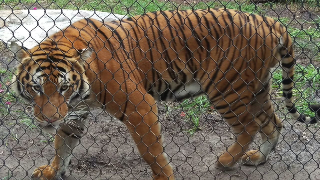 Side View Of Tiger Behind Chainlink Fence