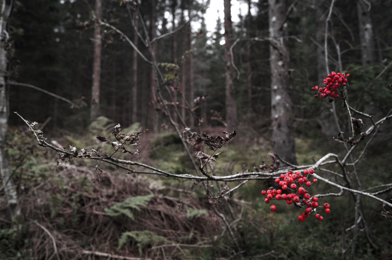 tree, red, fruit, growth, no people, focus on foreground, branch, outdoors, day, food and drink, nature, plant, freshness, close-up