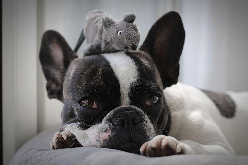 Frenchbulldog Französiche Bulldogge Lustiger Hund Geduldiger Hund Obedience Hund Rainy Day Fun Funny