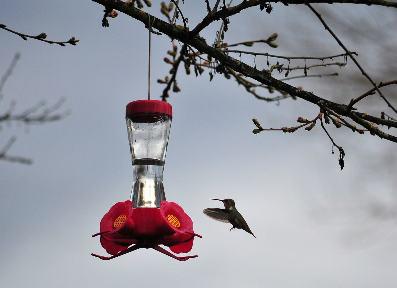Animal Themes Animal Wildlife Animals In The Wild Bare Tree Beauty In Nature Bird Bird Feeder Birdhouse Branch Close-up Day Focus On Foreground Hanging Humming Bird Hummingbird Jar Nature No People One Animal Outdoors Perching Red Sky Tree