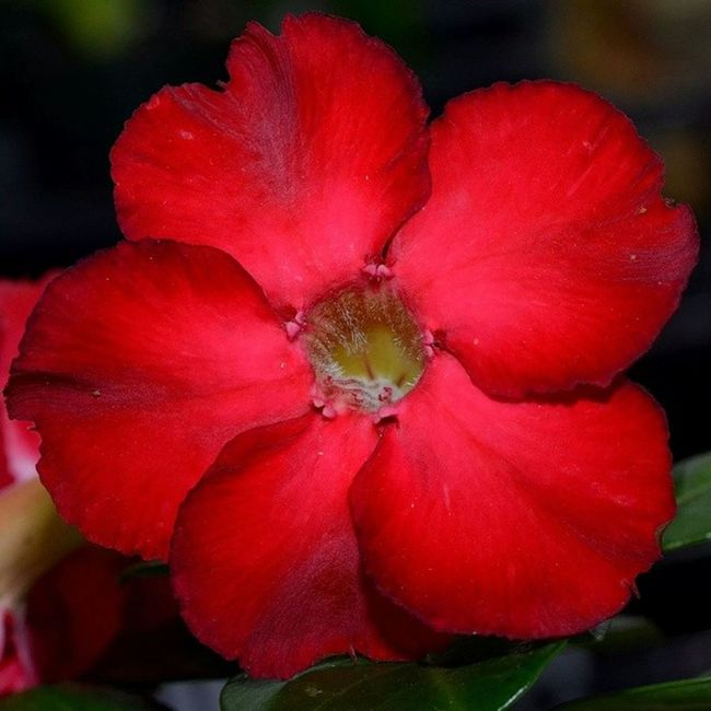 Desert rose Red Reds Desertrose Desert Roses Rosé Beauty Flowers Flower