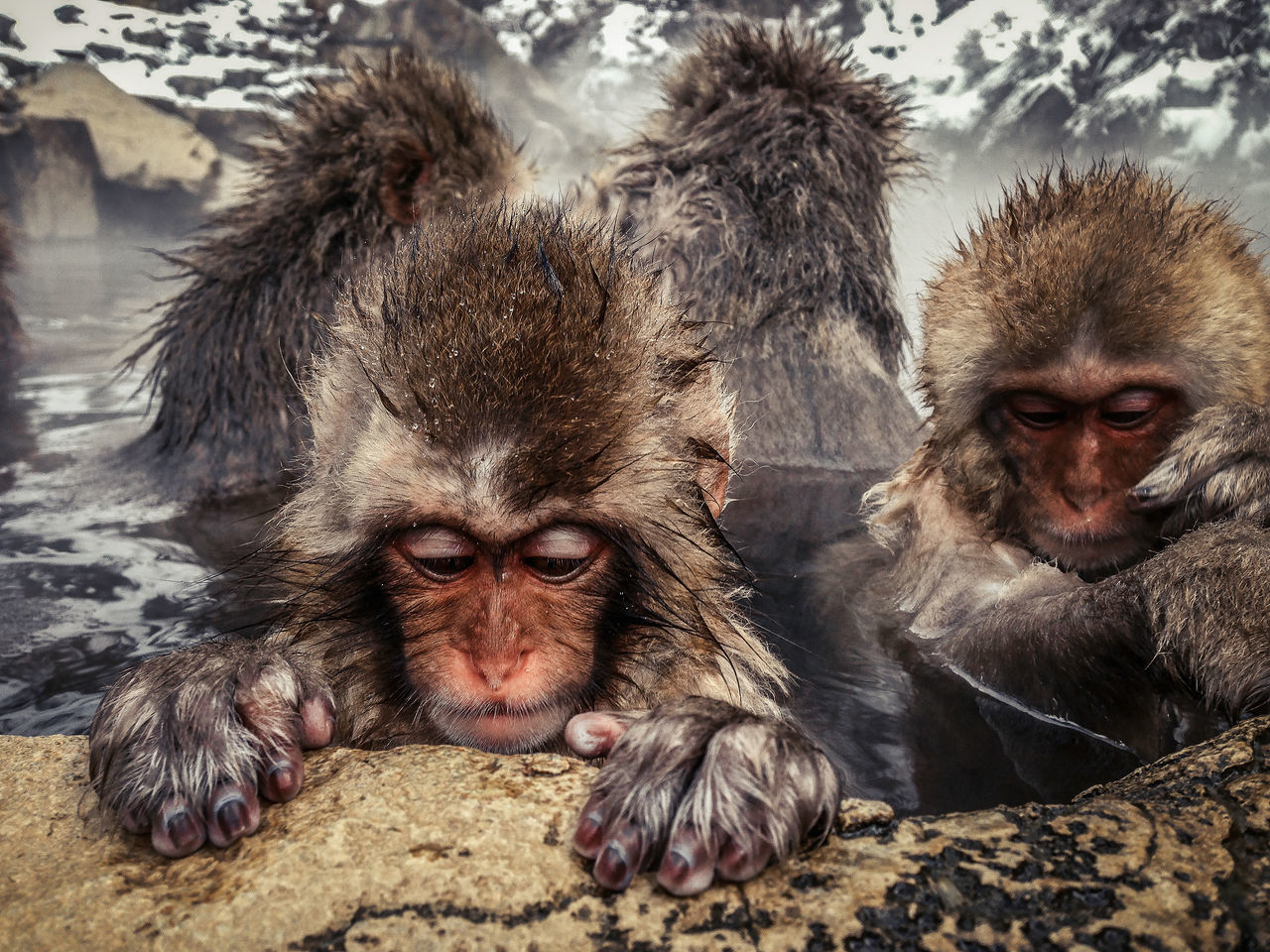 Monkey Snow Monkey Japanese Macaque Monkey Brothers IPhone IPhone5 IPhoneography Jigokudani Spa Nagano, Japan