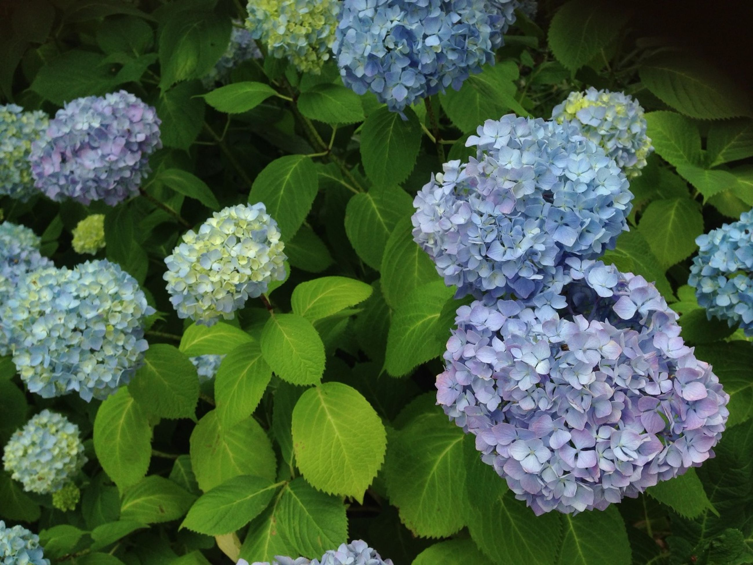flower, freshness, fragility, growth, beauty in nature, petal, plant, flower head, hydrangea, nature, blooming, leaf, purple, high angle view, white color, in bloom, bunch of flowers, park - man made space, blossom, close-up