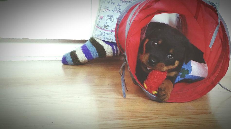 Hugo playing in the tunnel! Hugoandhisrottieadventures Fostertoadopt Bcspcavictoriabranch Rottweiler My Dogs Are Cooler Than Your Kids Rottweilerpups Dog