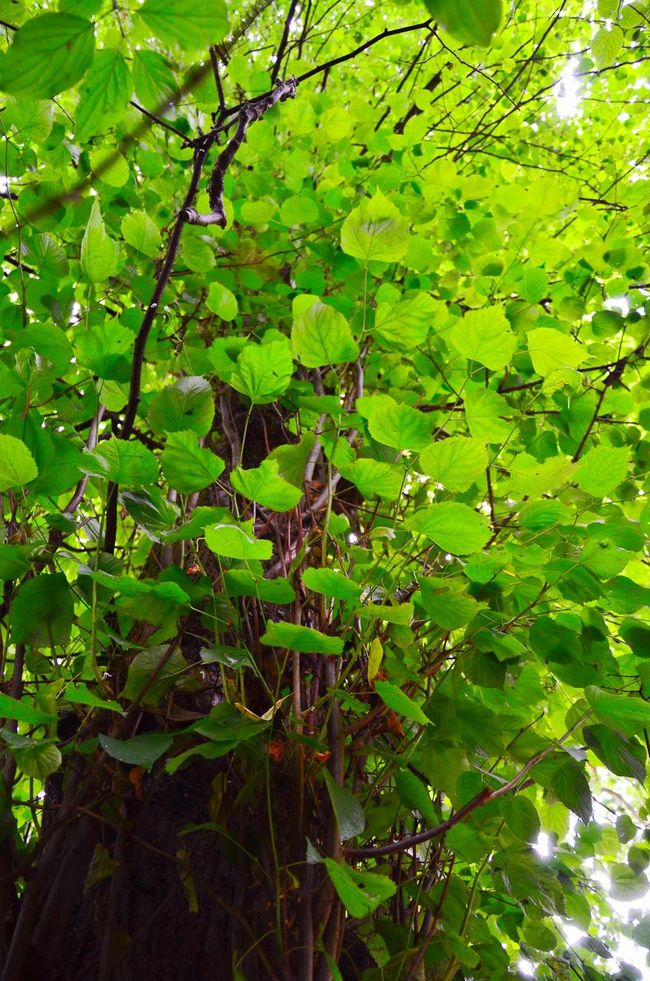 Branches EyeEm Nature Lover Green Color Greenery Leaf Leaves Lookingup Nature Park Tree Tree Trunk