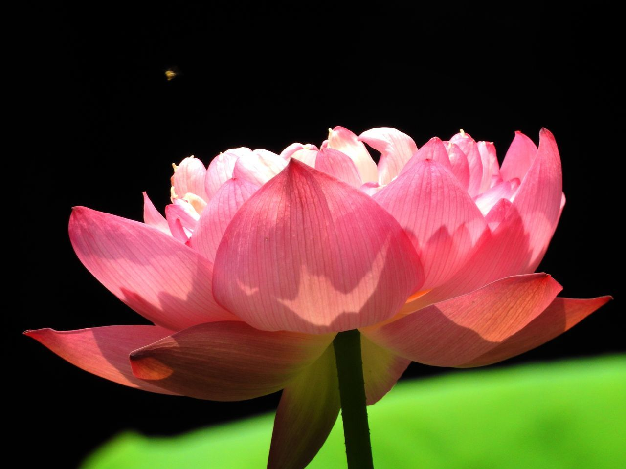 Flower Petal Beauty In Nature Fragility Flower Head Nature Freshness Growth Pink Color Blooming Close-up No People Black Background Plant Outdoors Day Sky