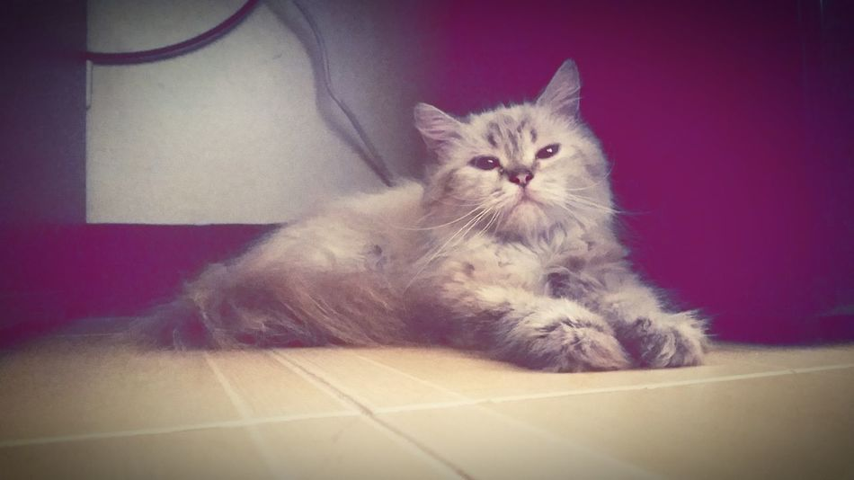 Mingming's rendition of Cinderella's Lucifer Cat Persian Persiancat Lucifer Mingming Snobbish Underthetable Chill Coollikethat