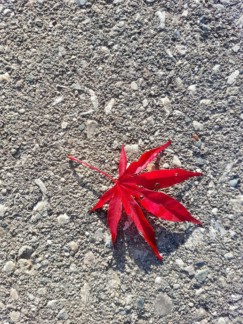 autumn, leaf, red, change, maple leaf, day, maple, high angle view, no people, outdoors, nature, close-up, beauty in nature
