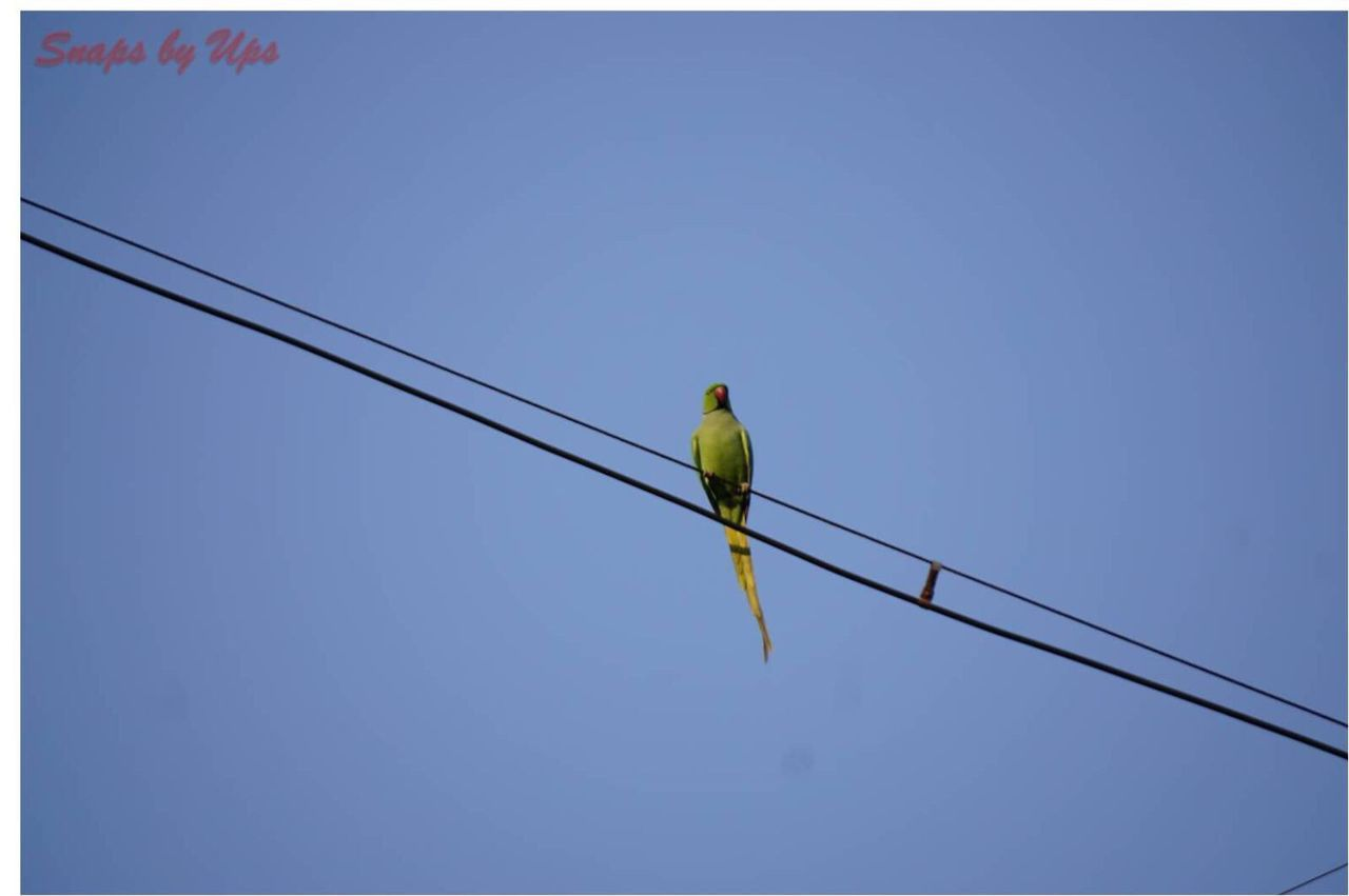 Adapted To The City Low Angle View Animals In The Wild Clear Sky Cable Animal Themes One Animal Electricity  Power Supply Power Line  Perching Bird Animal Wildlife Connection No People Outdoors Day Nature Sky Parrot