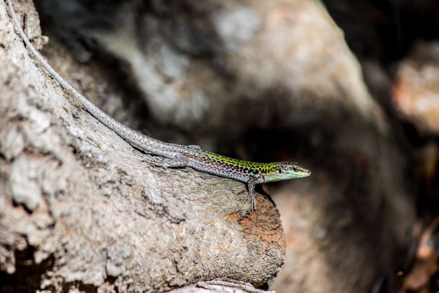 One Animal Animal Themes Animals In The Wild Reptile Outdoors Nature Animal Wildlife No People RNO Beautiful Place Sicily Beauty In Nature Wildlife Photography Wildlife & Nature Nature Wildlife Siracusa Sicilia Riserva Naturale Pantalica Siciliabedda Scenics Tranquility Travel Destinations