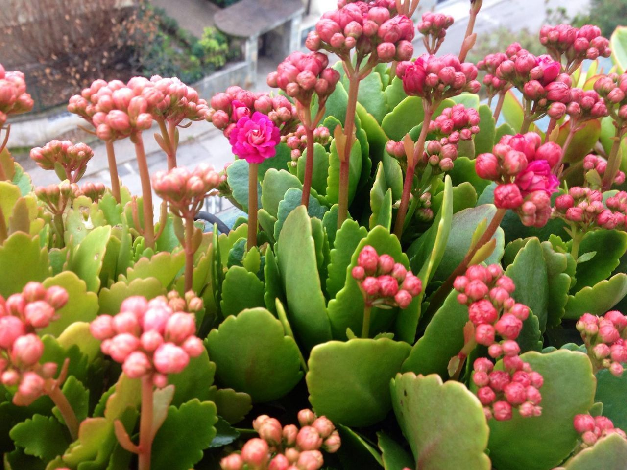 Abundance Beauty In Nature Blooming Botany Close-up Februaryphotochallenge Flower Flower Head Fragility Freshness Growth Nature No People Petal Pink Color Plant Winter Bloom Winter Blooms