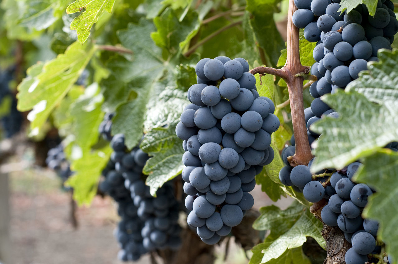 Agriculture Blue Bunch Close-up Clusters Food Fruit Grape Grape Clusters Horizontal Composition Leaves🌿 Nature No People Outdoors Vine Vineyard Wine Grapes