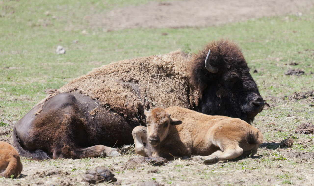 American buffalo cow with six weeks old calf - Bison bison Agriculture American American Buffalo Animal Family Animal Themes Beef Bison Bison Bison Buffalo Calf Cattle Cow Domestic Animals Herd Livestock Lying Down Mammal Nature No People Organic Relaxation Rural Scene Togetherness Two Animals Young Animal
