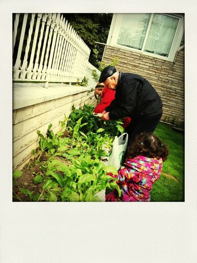 Picking Spinach