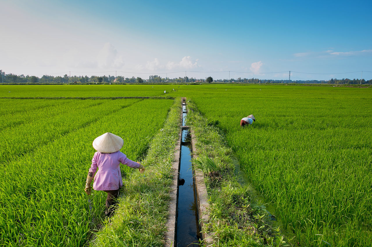 Vietnamise women working in Hoi An rice field Agriculture Asian Style Conical Hat Blue Sky Cultivated Land Farm Field Green Color Harvest Hoi An Landscape Rice Rice Field Rice Paddy Rural Scene Sky Vietnam Vietnamese Women Working