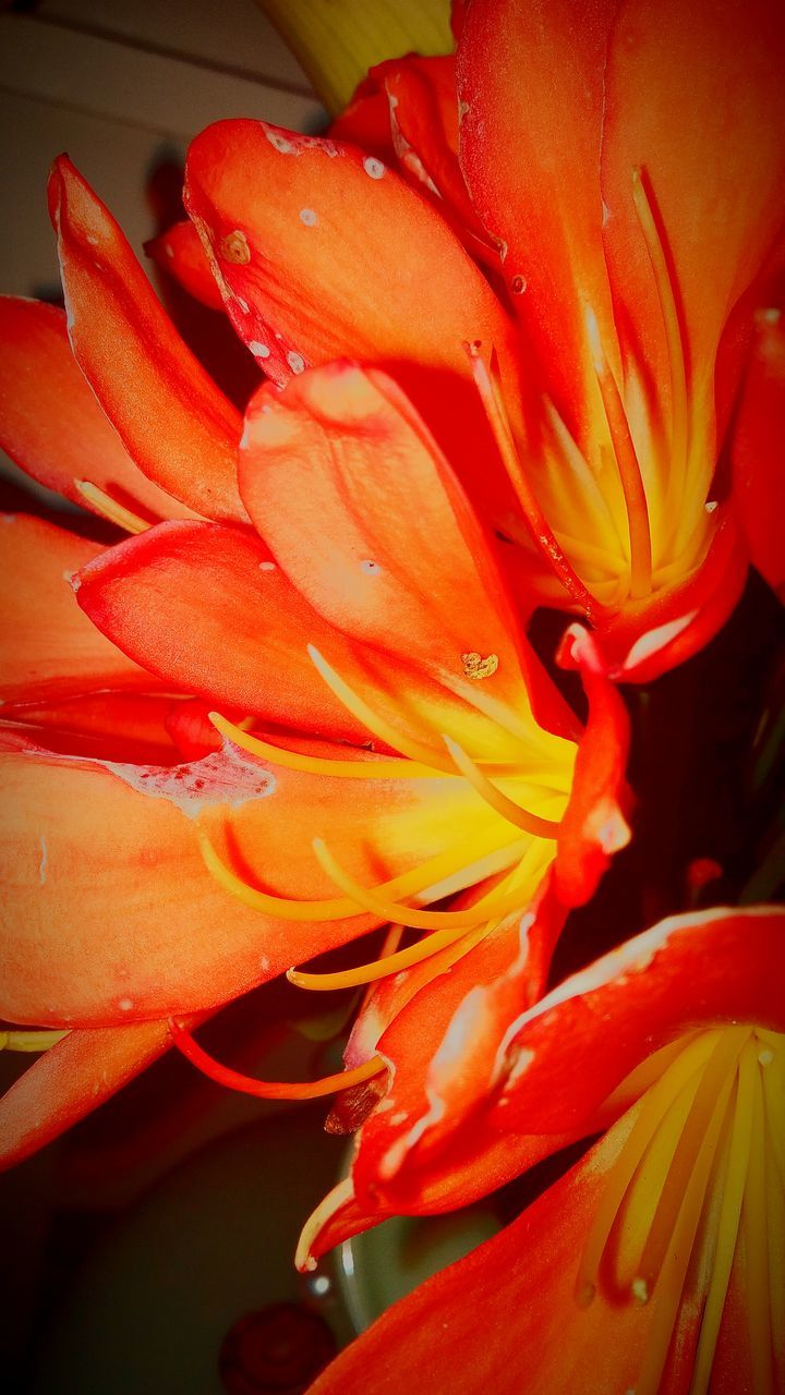 flower, petal, flower head, beauty in nature, orange color, nature, growth, freshness, fragility, no people, close-up, lily, day lily, plant, red, backgrounds, blooming, outdoors, day