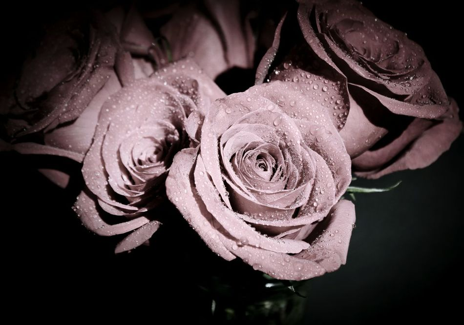 Close-up Flower Nature Fragility Indoors  No People Day Roses Pink Roses Muted Colors Pink Color Pink Flower Pink Soft Light Macro Macro Photography EyeEm Masterclass Fine Art Photography Darkness And Light Macro Water Drops Water Droplets Wet Floral Perfection Still Life