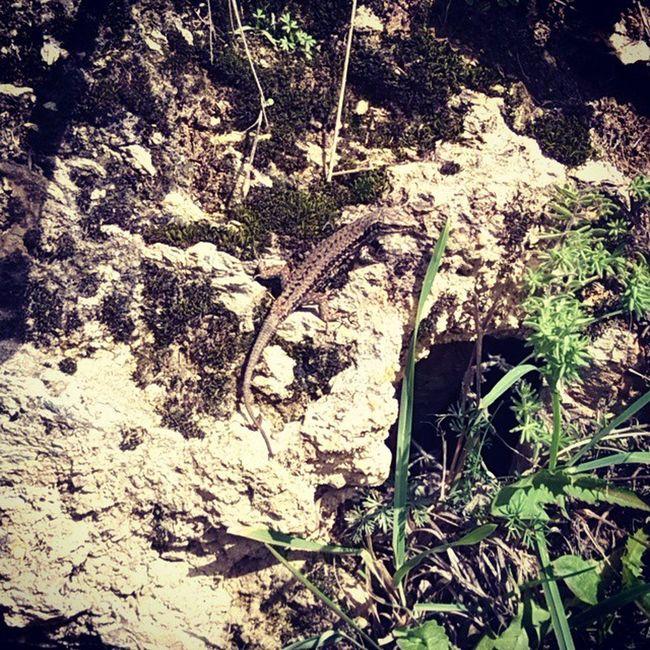 Bien camuflado Amagatotis Llangardaix Surroca