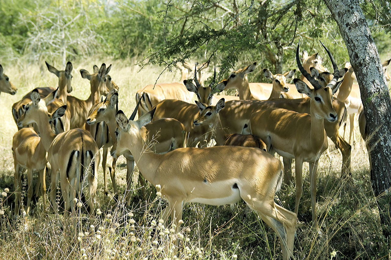 A flock of impala-antelopes resting warily under a shadowing tree in Rwanda's eastern National Park Akagera Akagera Animal Themes Animals In The Wild Antelopes Day Flock Of Impala Grass Herd Impala Impala Lily Large Group Of Animals Mammal National Park Nature No People Outdoors Rwanda Wildlife