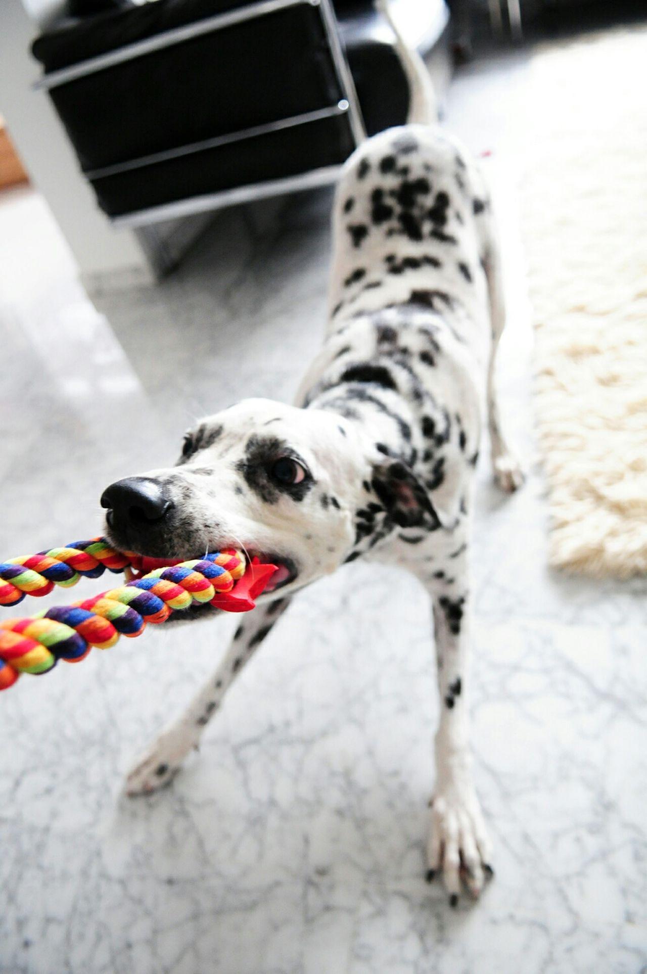 The Portraitist - 2015 EyeEm Awards I Love My Dog Dog Dog Love Pet Pet Photography  Pets Corner Pets Dalmatian