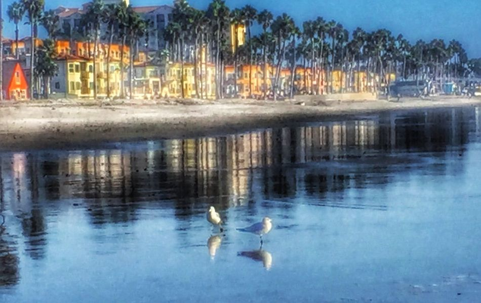 Oceanside Animals In The Wild Animal Themes Bird Reflection Water Animal Wildlife Swimming Lake One Animal Duck Swan Day Outdoors No People Nature Tree Ocean Oceanside Storiesbydebbie
