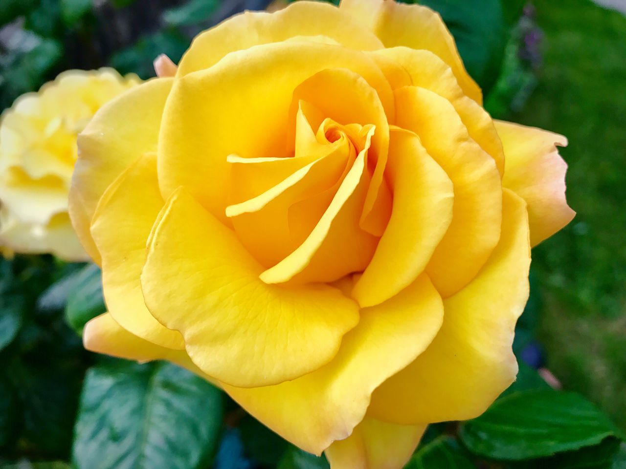 Flower Petal Nature Fragility Beauty In Nature Flower Head Freshness Yellow Plant Close-up Growth Blooming Outdoors No People Rose - Flower Focus On Foreground Day Springtime Roses Yellow Flower Yellow Rose