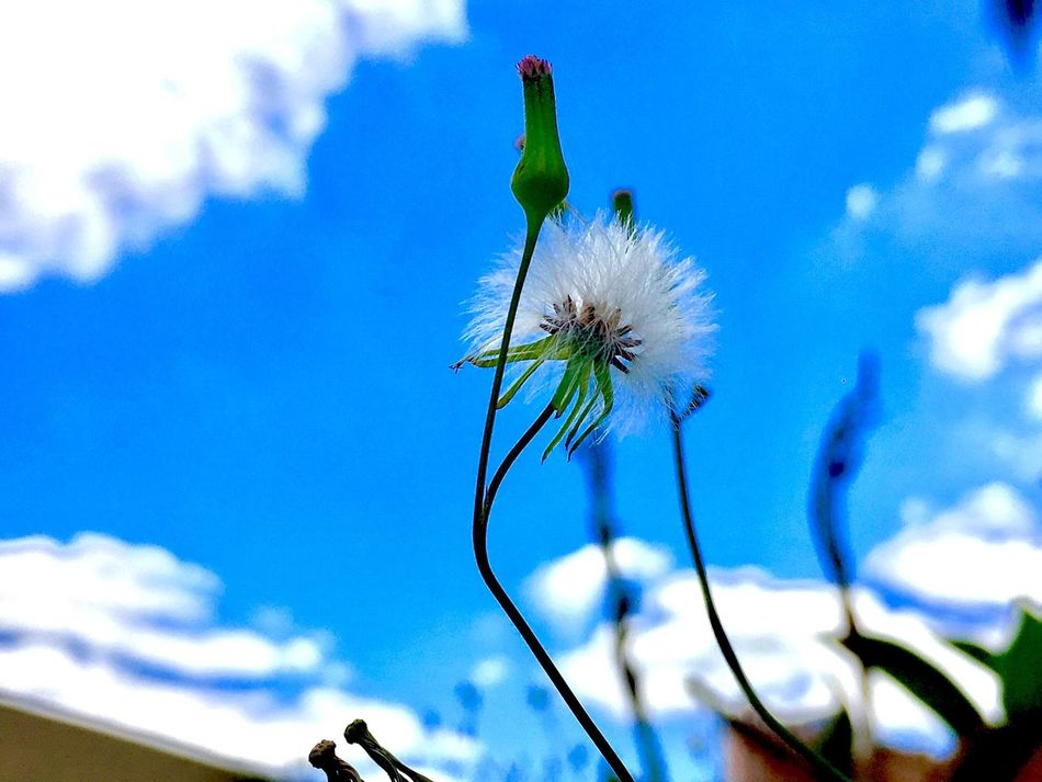 Flower Fragility Nature Growth Sky Cloud - Sky Beauty In Nature Blue Day Outdoors No People Plant Freshness Close-up Flower Head First Eyeem Photo Popular Photos EyeEm Best Shots Exceptional Photography Best Photos