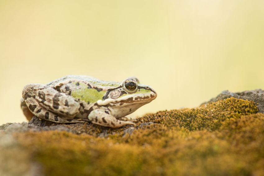 Green frog on moss Amfibian Animal Themes Animal Wildlife Animals In The Wild Beauty In Nature Close-up Crocodile Day Frog Green Frog Nature No People One Animal Outdoors
