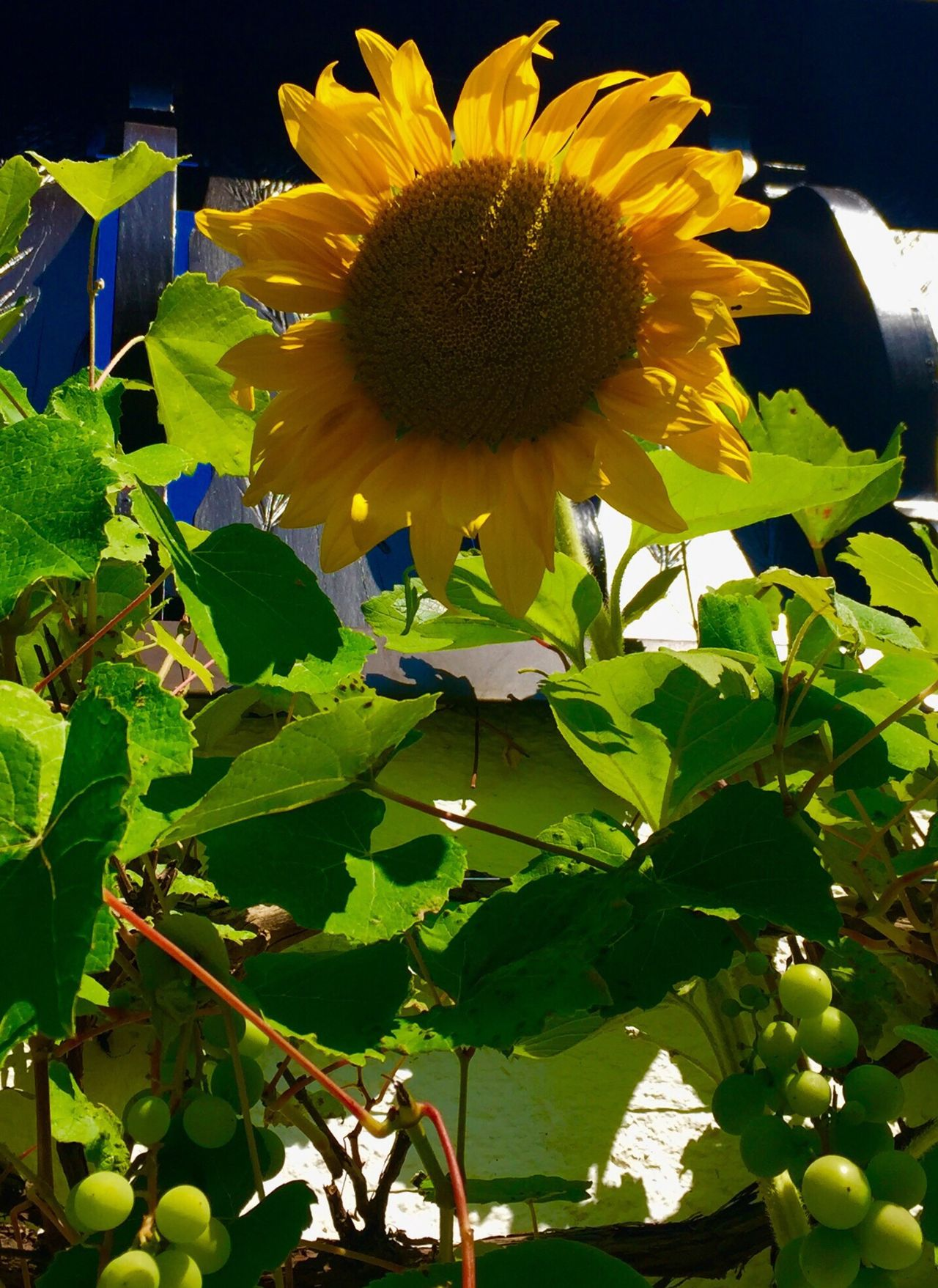 The Summer Comes Sunflowers And Grapes Beauty In Nature Nature_collection Nature Photography Eye4photography  Fine Art Photography EyeEm Nature Lover EyeEm Masterclass Eyeemphotography Eyemphotography