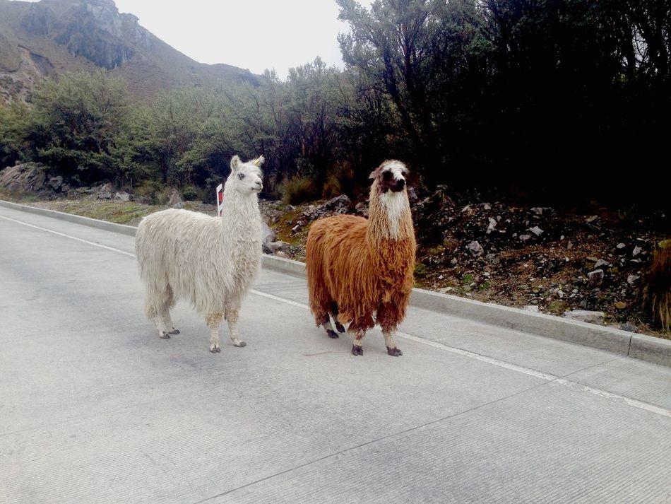 Beautiful stock photos of llama, Animal Hair, Animal Themes, Day, Domestic Animals